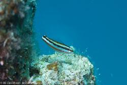 BD-120424-Marsa-Alam-6408-Plagiotremus-rhinorhynchos-(Bleeker.-1852)-[Bluestriped-fangblenny].jpg
